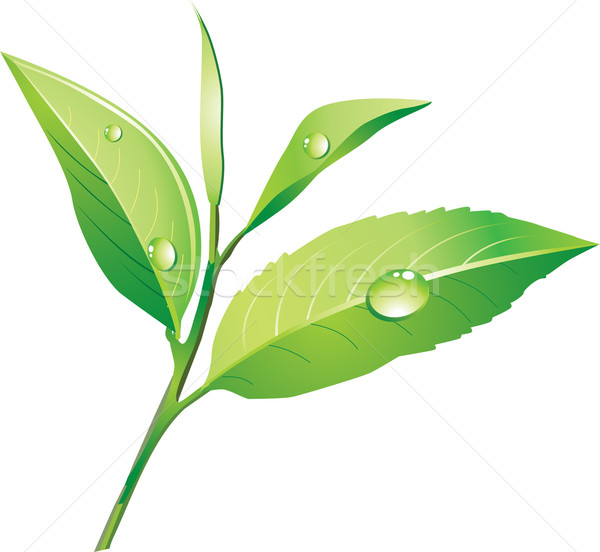 Vector drawing green branch of tea Stock photo © lossik