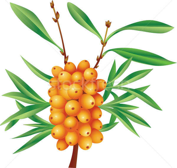 Branch of sea-buckthorn berries with berries Stock photo © lossik