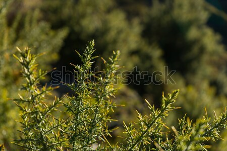 alpine plant with spiky leaves Stock photo © lostation