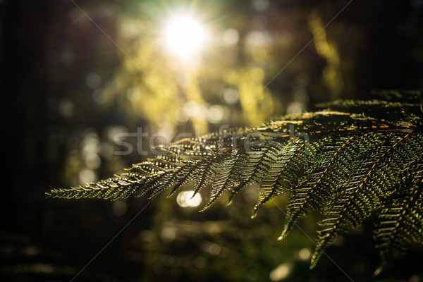 Fern leaves and sunlight Stock photo © lostation