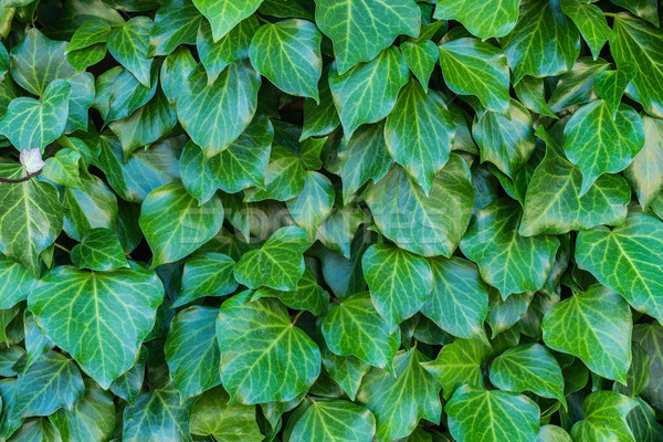 green leaves in different sizes Stock photo © lostation