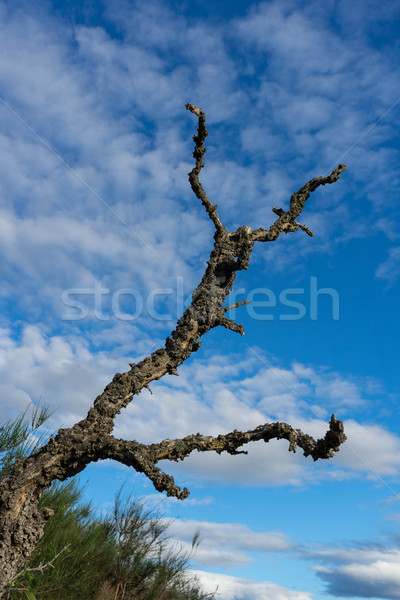 lonely dead tree Stock photo © lostation