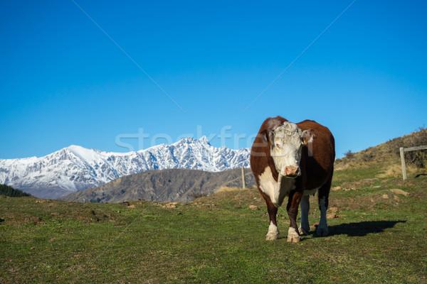 Cow on alpine meadow  Stock photo © lostation