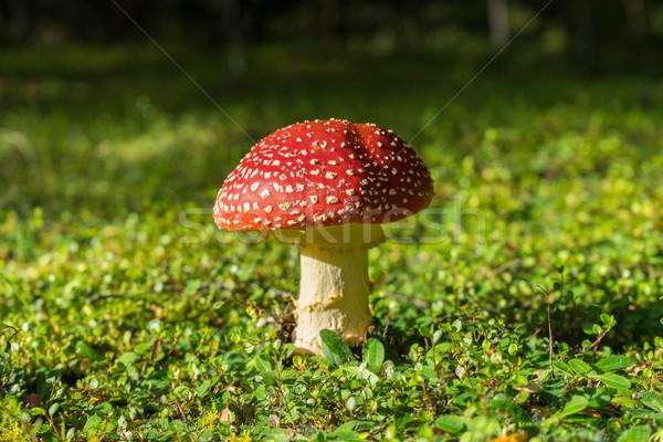 Flyagaric mushroom Stock photo © lostation