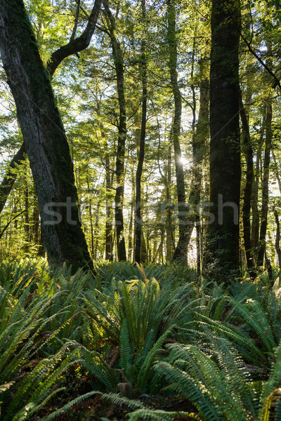 Varen bos New Zealand track boom zon Stockfoto © lostation