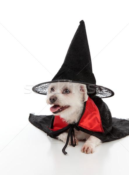 Psa kapelusz czarownicy biały terier czarny Zdjęcia stock © lovleah