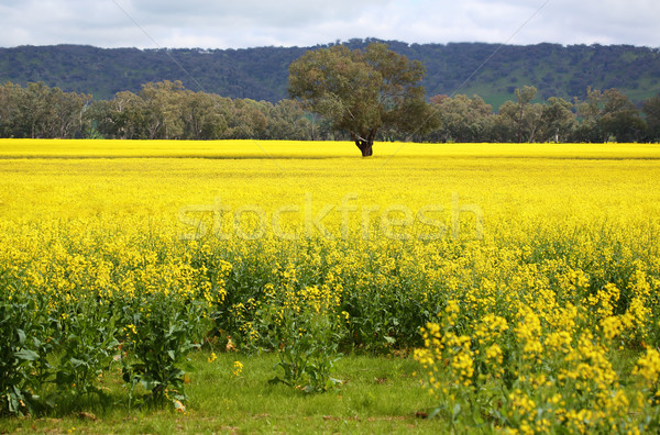 Tree in midst of blooming golden Canola Stock photo © lovleah