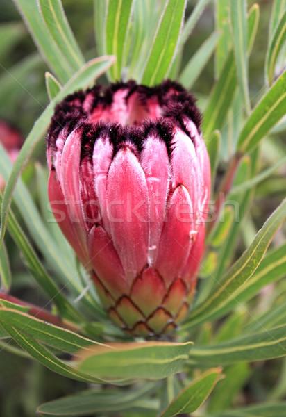 Protea Burchelli growing in the garden Stock photo © lovleah