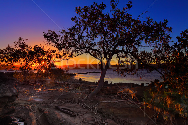 Sunset Mangrove  low tide and intertidal shallows Stock photo © lovleah