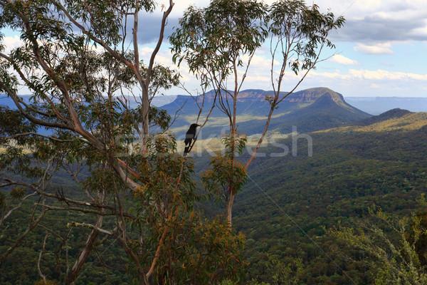 Stock photo: Magpie in gumtree Blue Mountains Australia