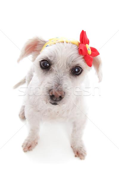 Fehér kutya visel fejpánt virág dekoráció Stock fotó © lovleah