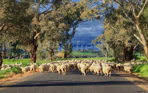 Sheep herding in country NSW Stock photo © lovleah