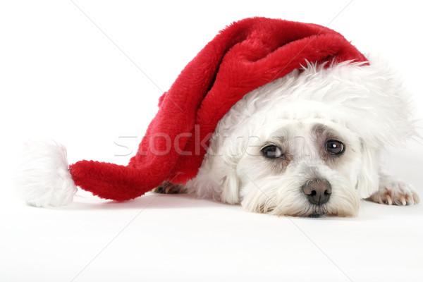 Christmas Pooch Stock photo © lovleah