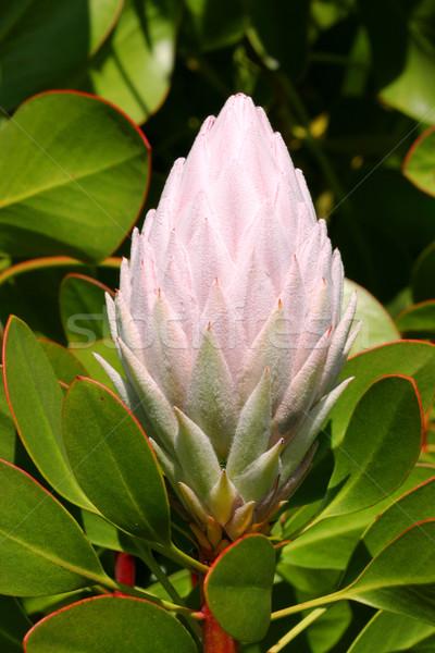 Pale Pink Protea Cynaroides Stock photo © lovleah