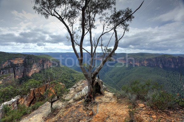 Stock photo:  Magnificent gum tree at  Burramoki Headland overlooking Grose V