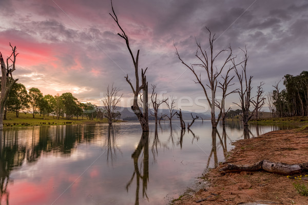 Beautiful dead trees stand steadfast in the lake at sunset Stock photo © lovleah