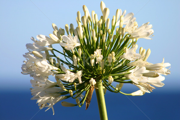 Flor oceano espécime tanto flores Foto stock © lovleah