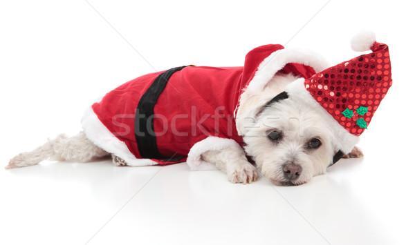 Maltese dog wearing a santa costume Stock photo © lovleah