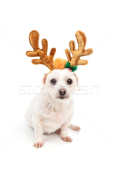 Little white dog with antler ears Stock photo © lovleah