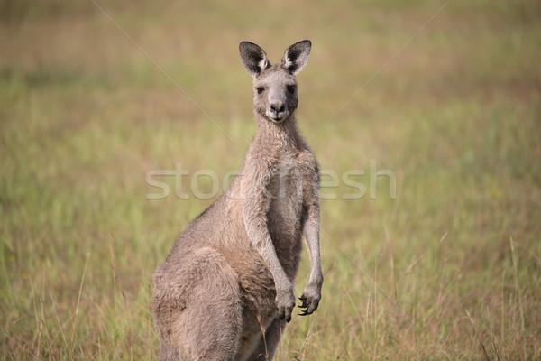 Wschodniej szary Kangur kłosie stałego pola Zdjęcia stock © lovleah
