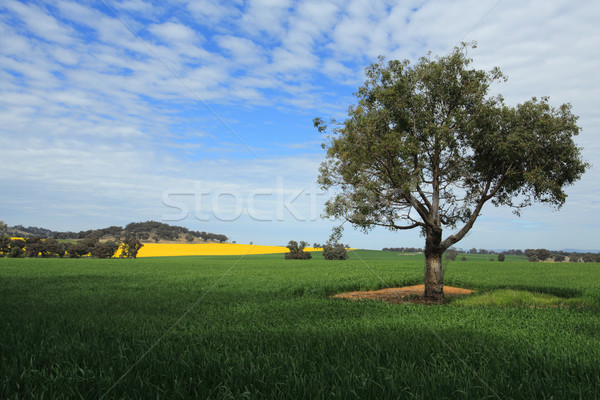 Harvest Fields in Central West NSW Stock photo © lovleah