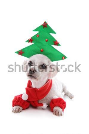 Pet Jester or Christmas Elf Stock photo © lovleah