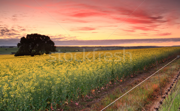 Sunrise over Canola fields Stock photo © lovleah