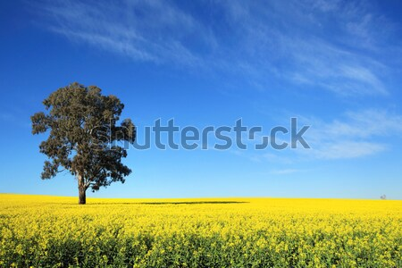 Canola Fields in Central West NSW Stock photo © lovleah