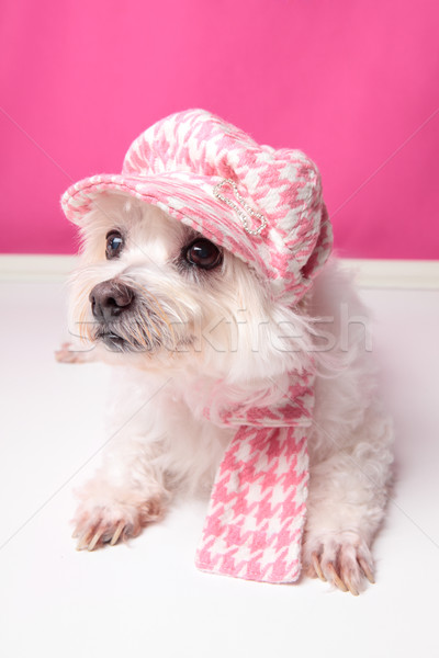 Pampered maltese terrier Stock photo © lovleah