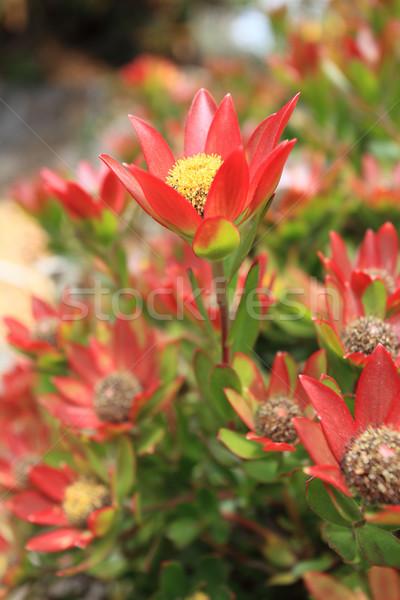Leucadendron shrub flowering in the garden Stock photo © lovleah