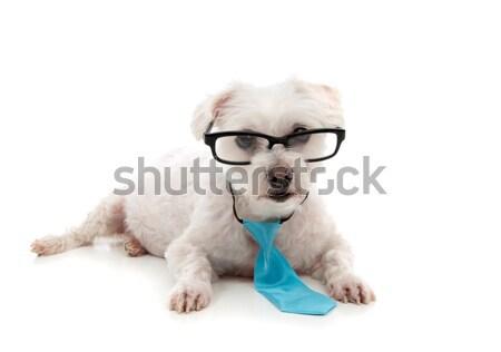 Stock fotó: Intelligens · kutya · néz · előre · fehér · terrier