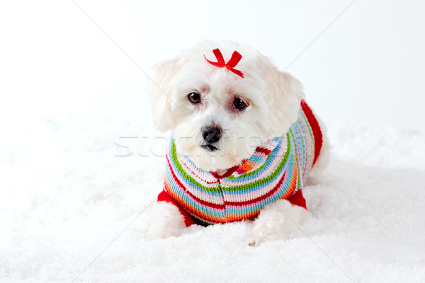 Small White Puppy Dog in Winter Scene Stock photo © lovleah