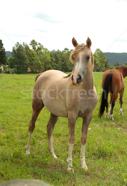 Cavalos campo belo rural verde Foto stock © lovleah