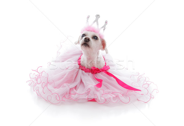 Pampered Princess or Ballerina pet Stock photo © lovleah
