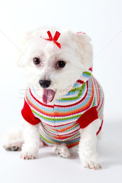 ásít kutyakölyök kutya aranyos kicsi fehér Stock fotó © lovleah
