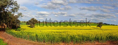 Canola Plantation crop Stock photo © lovleah