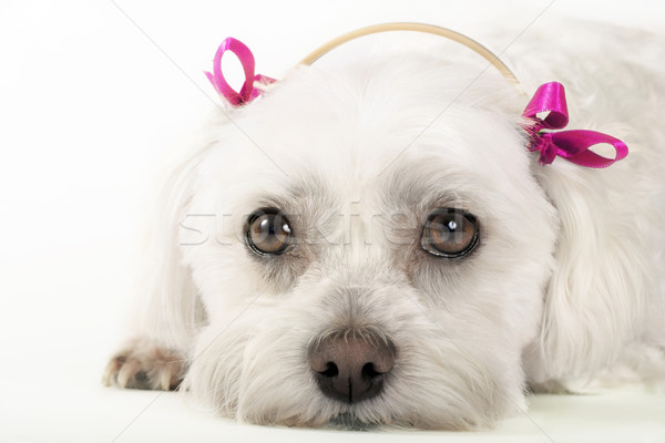 Stock photo: Cute maltese puppy dog