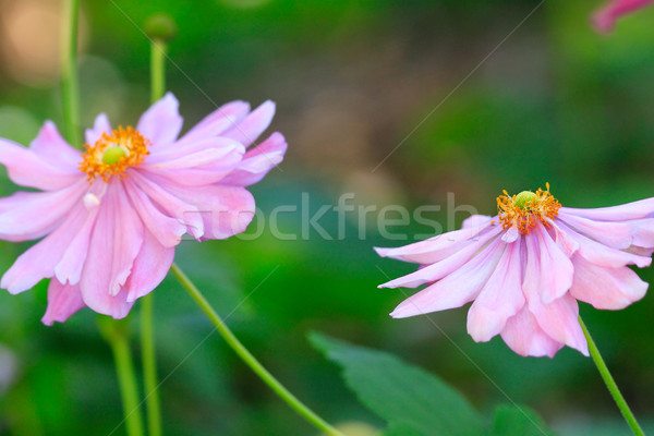 Beautiful soft pink aster with yellow centre sway in the breeze Stock photo © lovleah