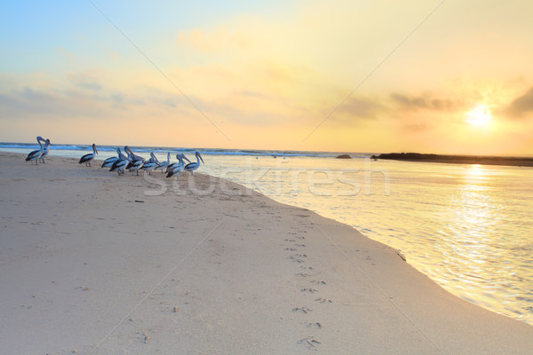 Pelicans watch the sunrise Stock photo © lovleah