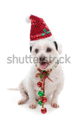 Christmas dog with jingle bells Stock photo © lovleah