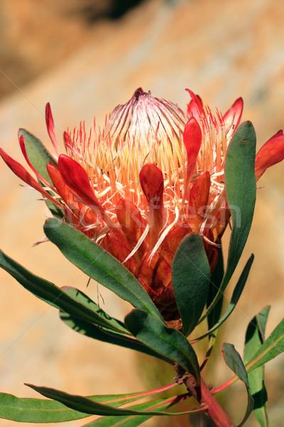 Pretty protea flower Stock photo © lovleah