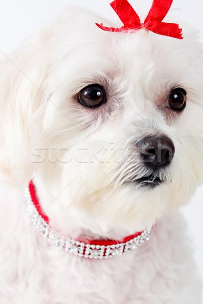 Maltese Terrier Dog Face Stock photo © lovleah