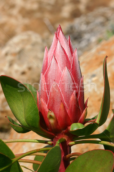 King Protea Pink Stock photo © lovleah