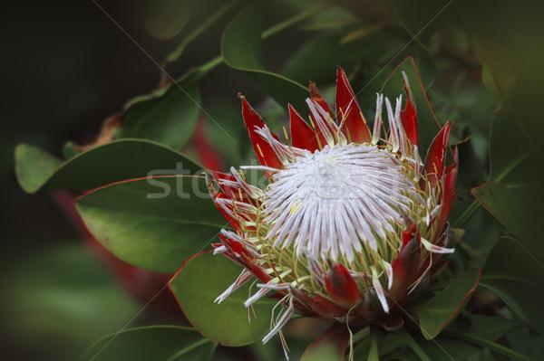 Protea Sugarbush Proteaceae Stock photo © lovleah