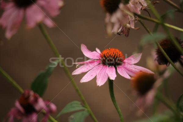 Purple Coneflower  Echinacea purpurea Stock photo © lovleah