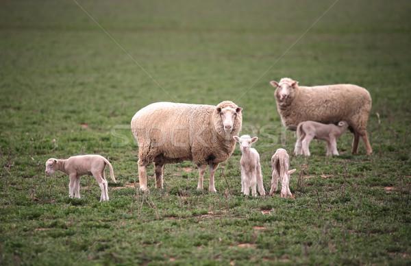 Bebé herboso campo industria granja animales Foto stock © lovleah