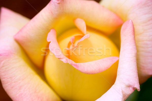 Peace Rose Stock photo © lovleah