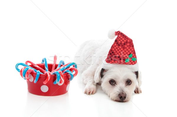 Cute dog with Christmas treats Stock photo © lovleah