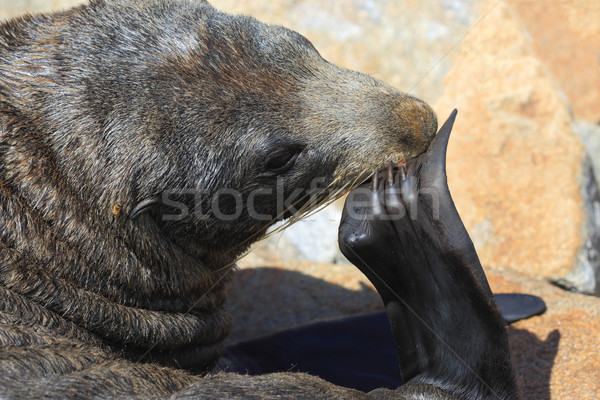 Australian Fur Seal (Sea Lion) Stock photo © lovleah