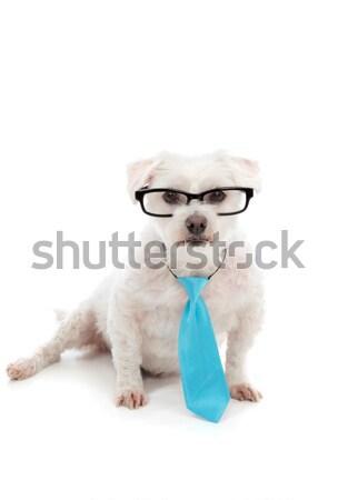 Stock fotó: Díszállat · kutya · visel · nyakkendő · szemüveg · intelligens